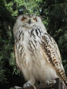 Auch er ist im Bayerischen Wald noch heimisch: der Uhu!